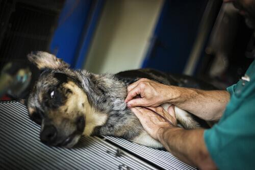 Nasce a Taiwan un centro di donazione di sangue per cani