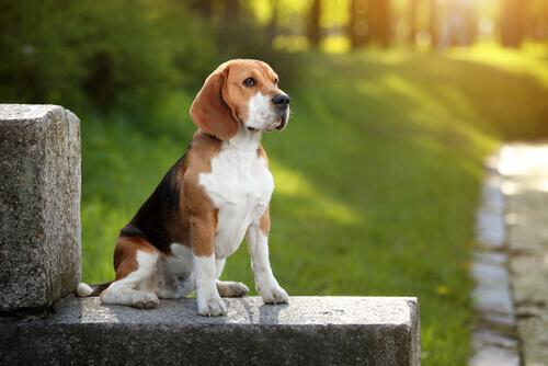 Beagle: scoprite tutto su questa razza