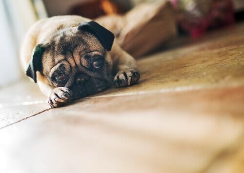 Cosa fare se il vostro cane è triste
