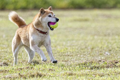 Lo Shiba: il cane-gatto