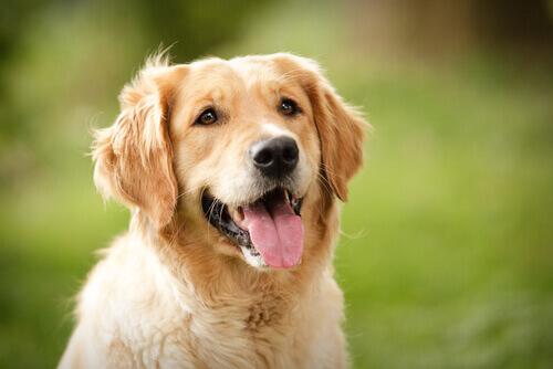 Qual è il significato delle espressioni facciali di un cane?