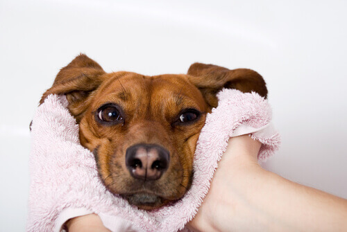 Il naso secco è un sintomo di malattia nei cani?