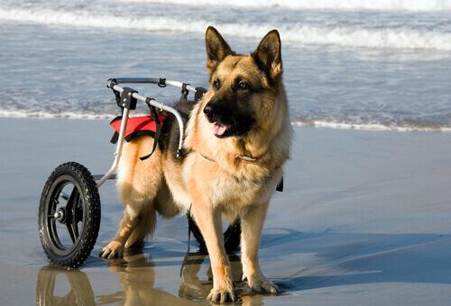 Cani in sedia a rotelle si godono il mare