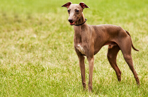 galgo in campagna
