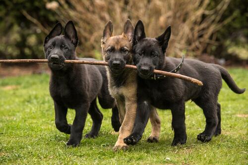 Le otto razze di cani più affettuose