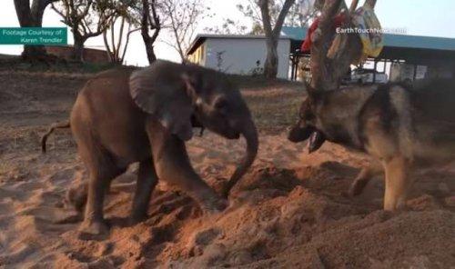 L'amicizia tra un Pastore Tedesco e un cucciolo di elefante