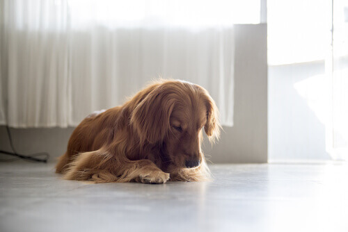 Perché la vostra cagnolina si lecca la vulva?
