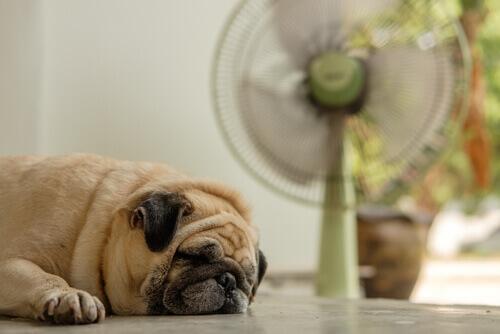 Il mio cane può stare davanti al ventilatore se ha caldo?