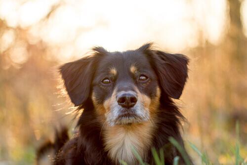 muso di cane attento