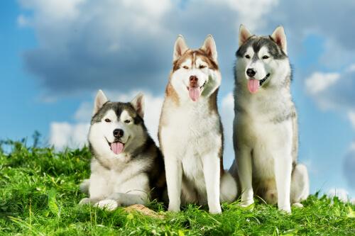 siberian husky sul pratto assomigliano a dei lupi