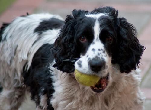 5 trucchi per insegnare al cane a riportare la palla