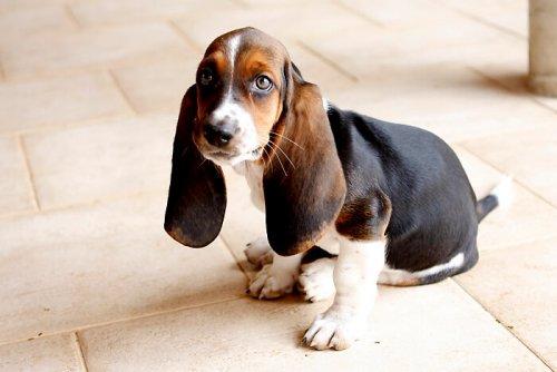 7 razze di cani con le orecchie grandi
