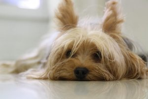 Yorkshire Terrier sdraiato sul pavimento