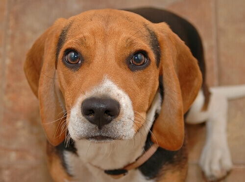 muso di beagle
