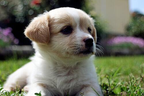Le cause della depigmentazione del naso nel cane