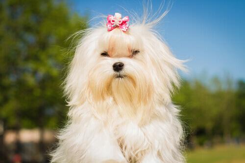 cagnolina bianca con fiocco