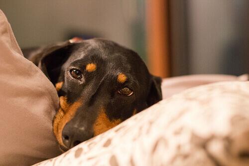 Come prevenire e curare la torsione gastrica nel cane
