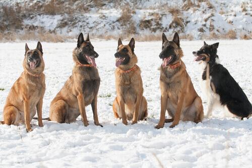 Tutto sul cane da pastore belga Laekenois