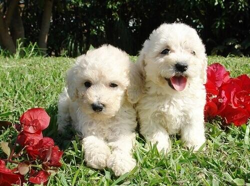 cani d'acqua bianchi sul prato