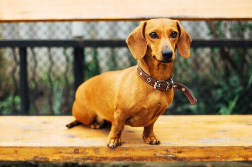 cane bassotto su tavola di legno