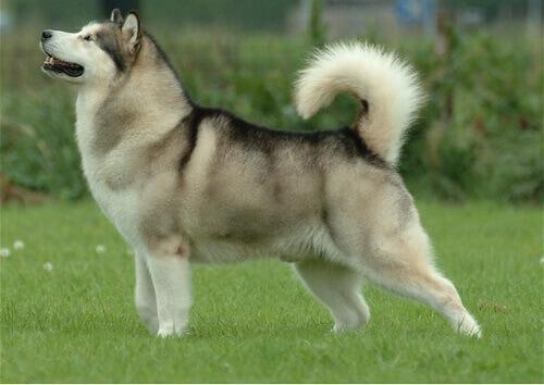 Le razze di cani che assomigliano a dei lupi