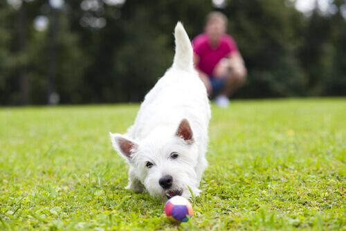 cane bianco gioca con pallina colorata sul prato