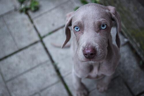 Le razze di cani con gli occhi azzurri