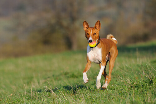 Qual è la razza di cani che abbaia meno?