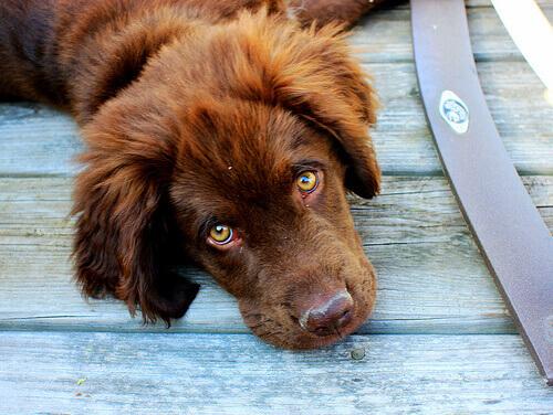 cucciolo marrone di terranova sdraiato