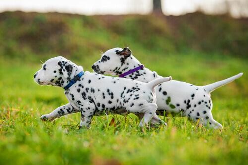 cuccioli di dalmata sul prato tra le razze di cani con gli occhi azzurri