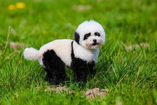 Tutto quello che c'è da sapere sui cani panda