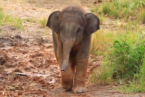 Donna salva piccolo di elefante e lo accoglie
