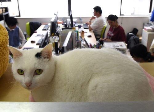 gatto bianco e nero in ufficio