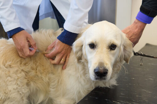Cane Golden dal veterinario