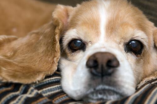 muso di cane sdraiato su coperta