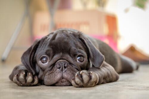 La parvovirosi canina: ecco cosa sapere