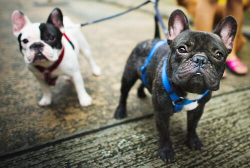 Che cosa si intende per pedigree in un cane?