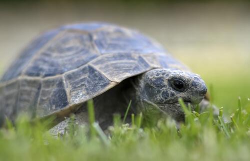 tartaruga cammina sul prato