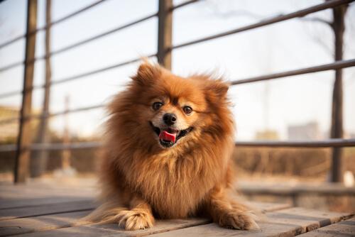 pomerania tra cani che sembrano peluche