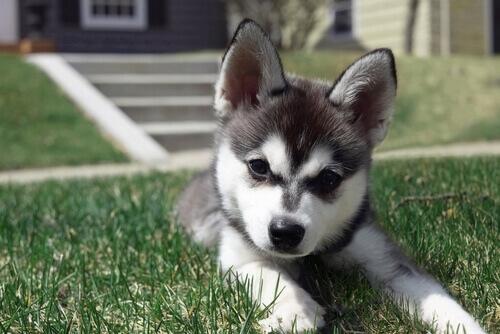 10 razze di cani che sembrano peluche