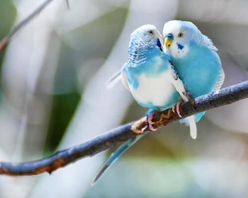 coppia di parrocchetti sul ramo