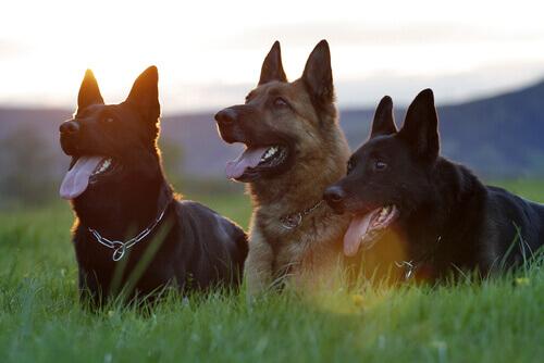 3 cani seduti sul prato