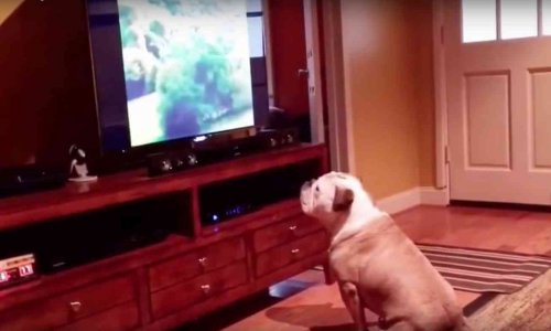 Bulldog guarda film horror