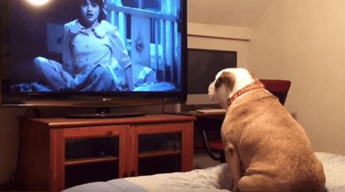Conosciamo il Bulldog inglese che adora i film horror