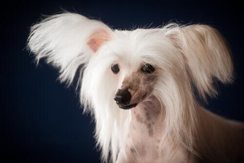 cane nudo dal ciuffo