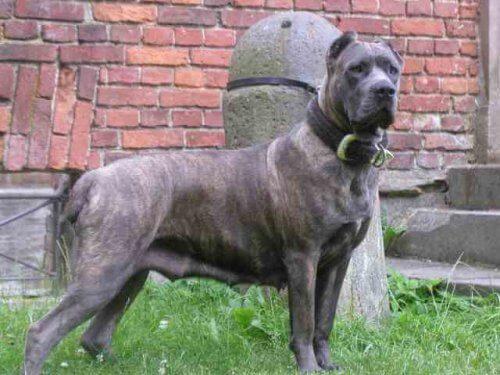 Molossoidi: caratteristiche di questa famiglia di razze canine