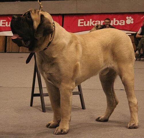 cane color crema della famiglia dei molossoidi