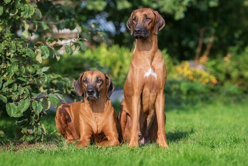 Il Rhodesian Ridgebac, un cane coraggioso