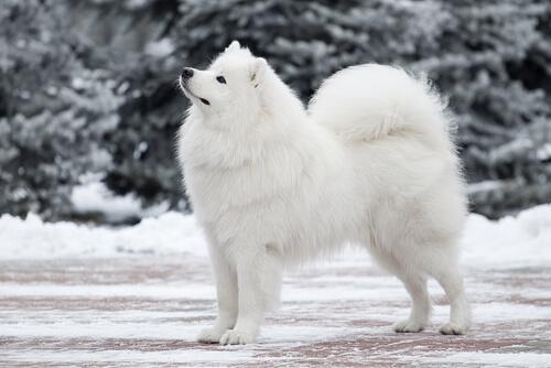 samoiedo sulla neve
