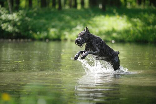 cane salta nel fiume